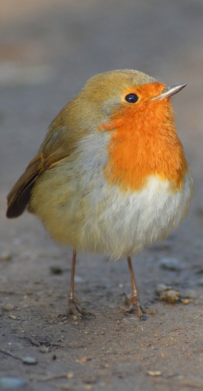 Picture of a cute robin.
