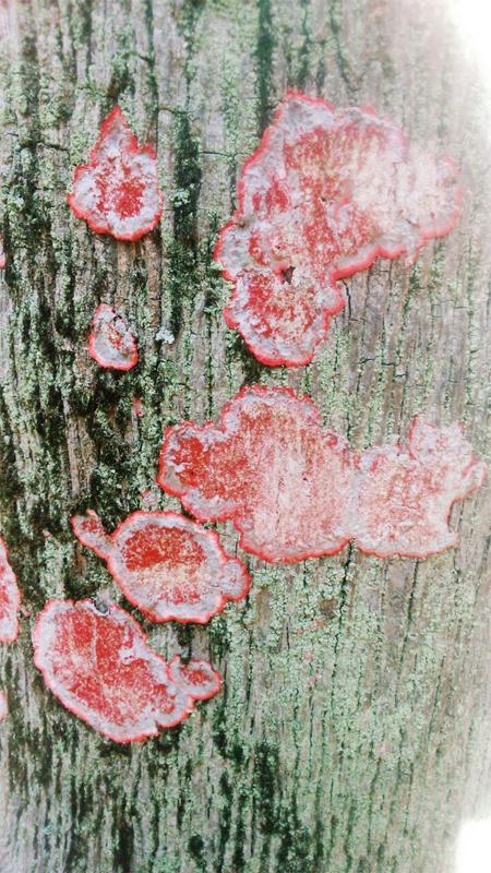 Herpthallon rubrocinctum. Anteriormente chamado de Cryptothecia rubrocincta (mais comum no PEJ). Foto: acervo Natasha Ceretti