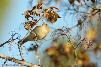 Mosquiter comú (Phylloscopus collybita)