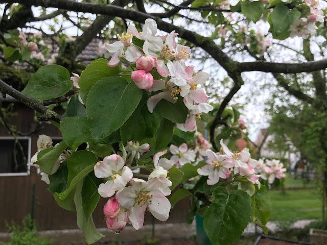 Apfelblüte im Gemüsegarten (c) by Joachim Wenk