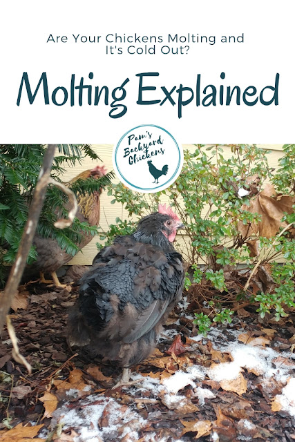 molting-chickens