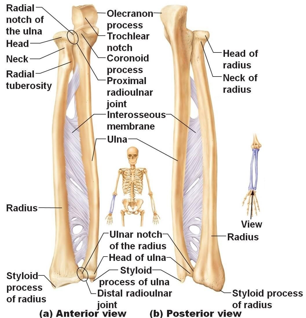 ulna diagram neck [ 1057 x 1097 Pixel ]