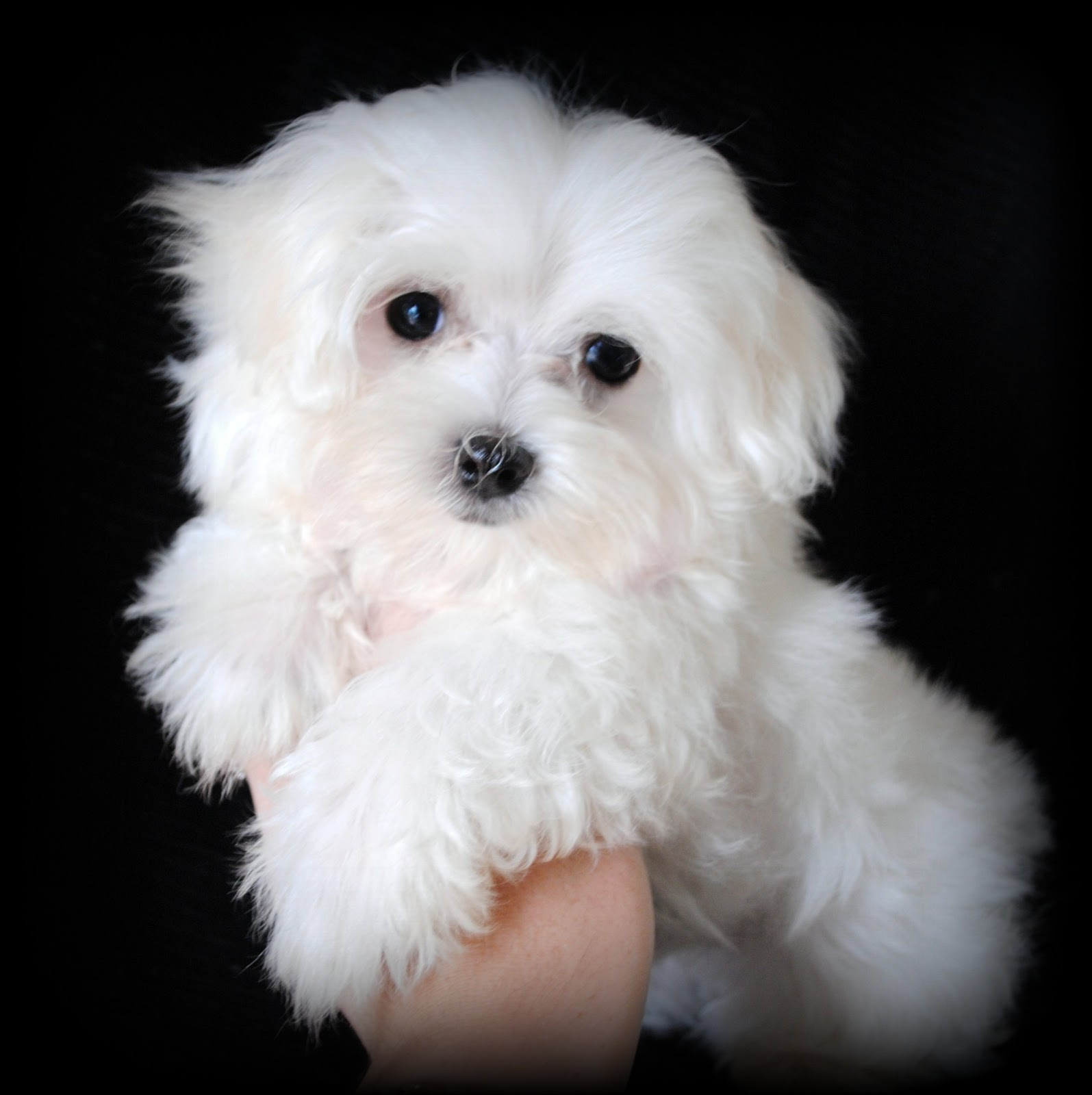 Maltese Puppies for Sale in North Carolina: May 2009