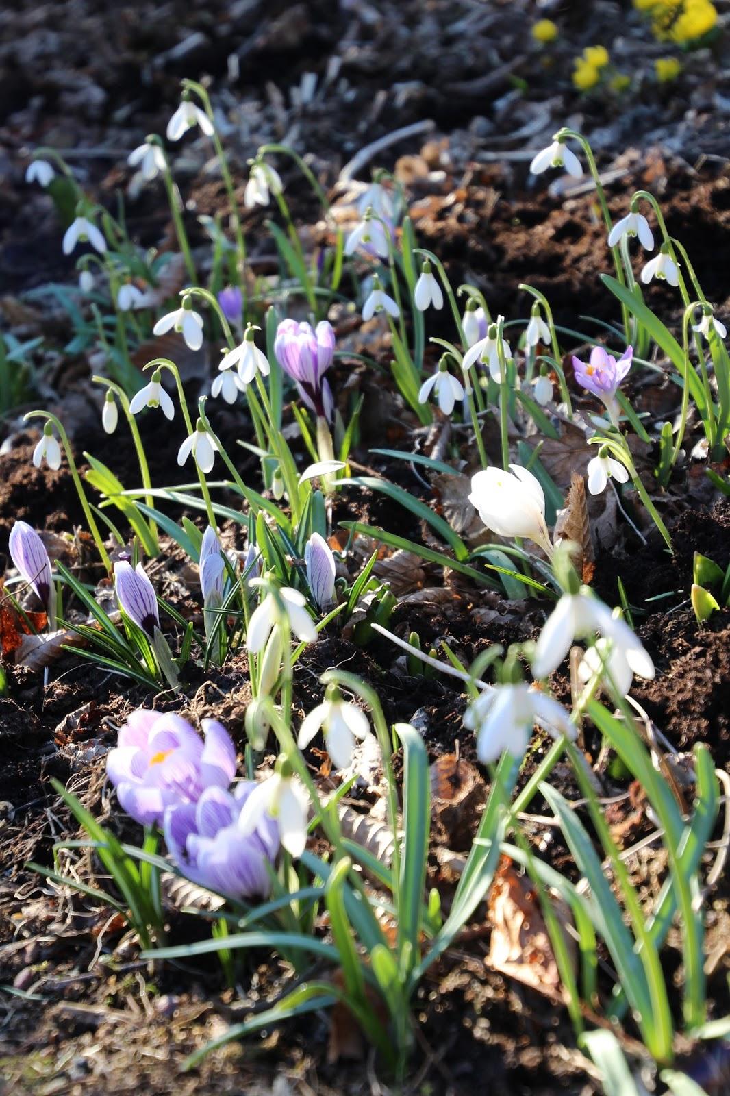 vårblomning lökväxter