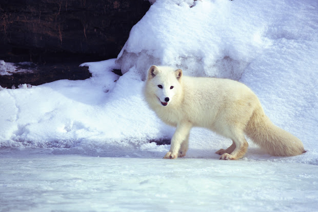 Tundra Biome Arctic Fox