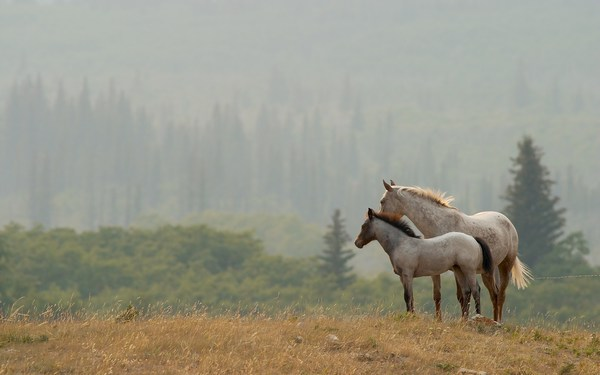 White Horses HD Pictures for Desktop Backgrounds