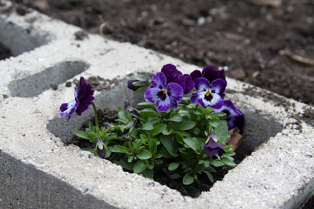 spring flowers, violas, self seeded plants, Anne Butera, My Giant Strawberry