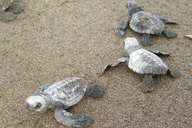 Tα πρώτα χελωνάκια της Πελοποννήσου ξεκίνησαν το ταξίδι τους από τον Κυπαρισσιακό