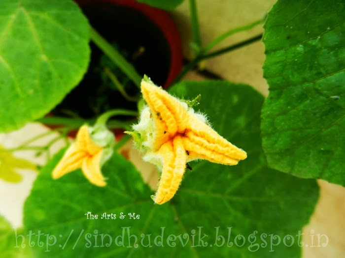Long stalked flower buds of pumpkin?