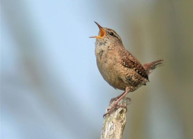 BROWNISH PASSERINE BIRD
