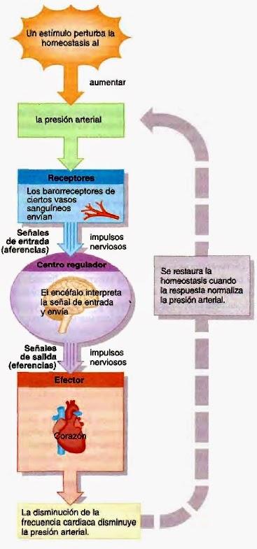 ejemplo de sistema de retroalimentación negativa de diabetes tipo 2