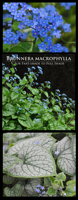 Brunnera macrophylla for Part-Shade to Full Shade