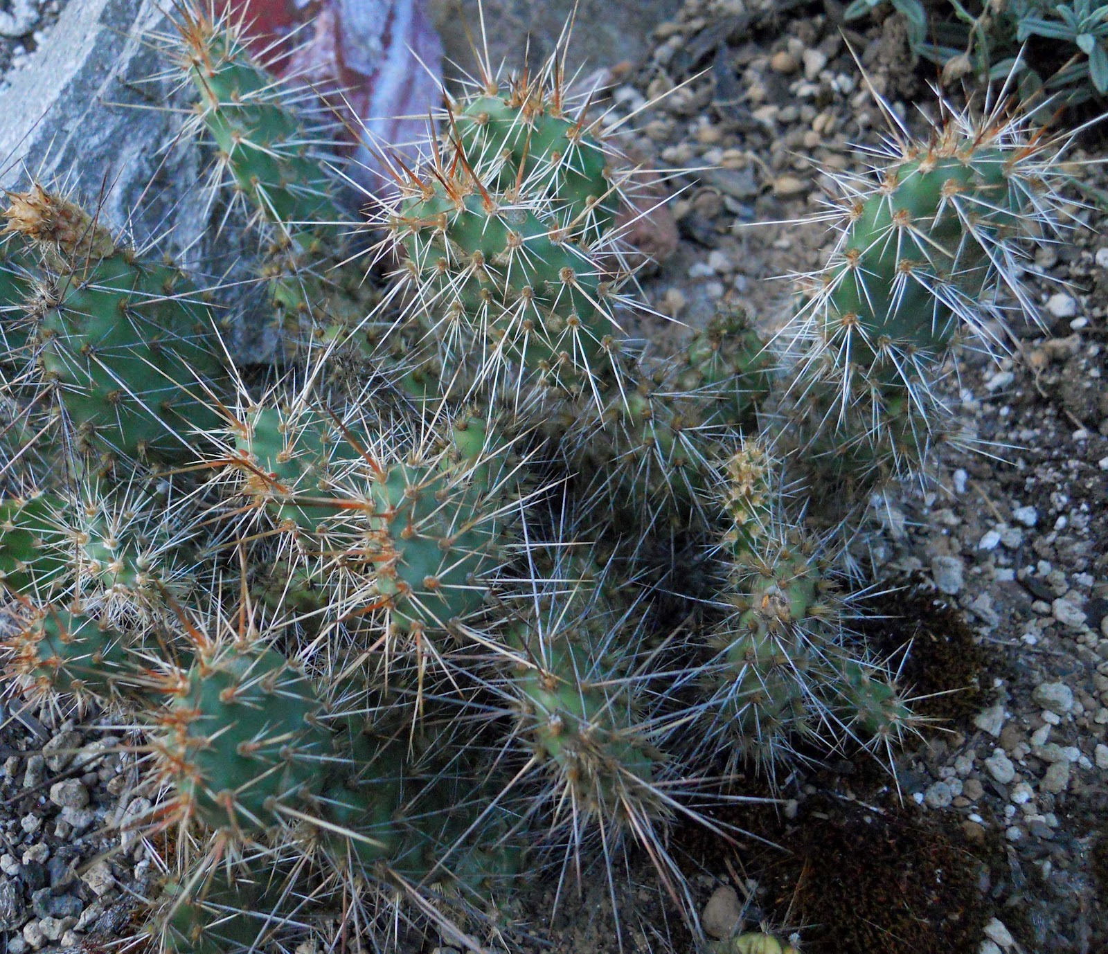 Beech Street Gardens: Opuntia Fever