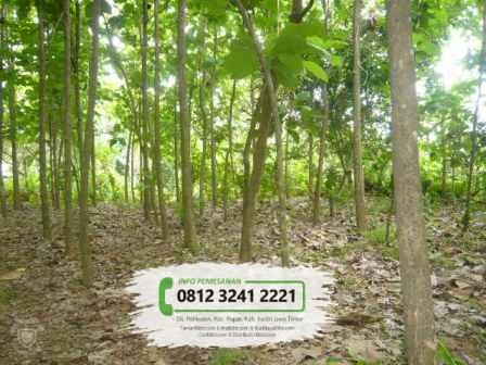 Jual Benih / Biji Pohon Jati Emas