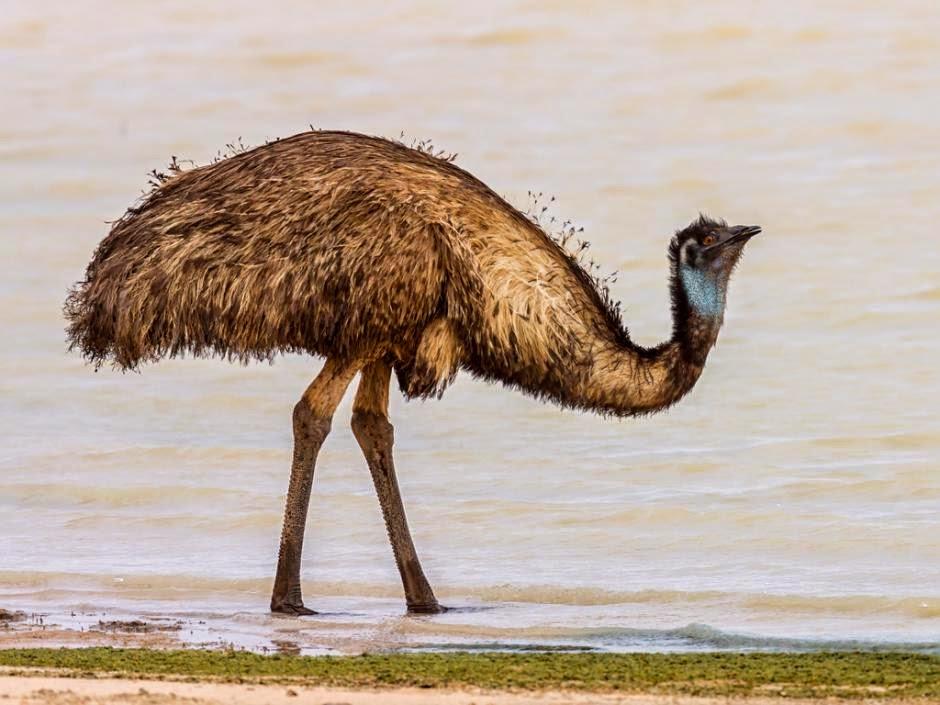 Emú Dromaius novaehollandiae