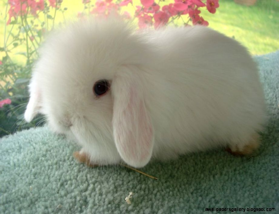 White Baby Bunnies With Blue Eyes | Wallpapers Gallery