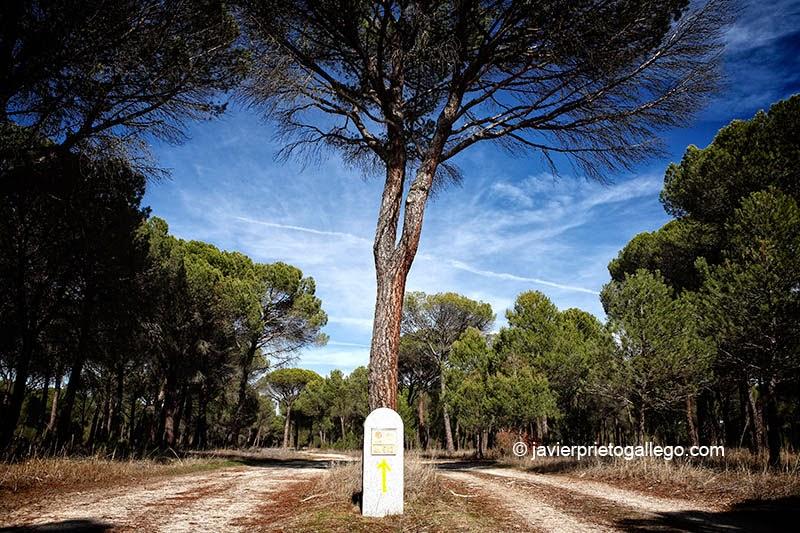 Pinares cerca de Olmedo en el Camino de Santiago desde Madrid. Provincia de Valladolid. Castilla y León. España. © Javier Prieto Gallego