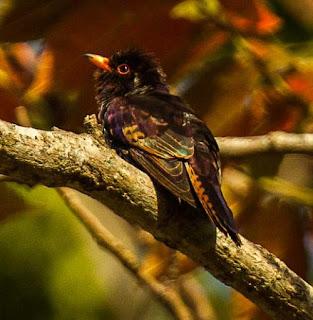 Violet cuckoo - Chrysococcyx xanthorhynchus