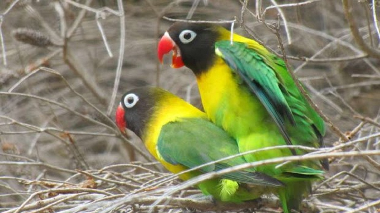 Cara Ternak Lovebird Untuk Pemula