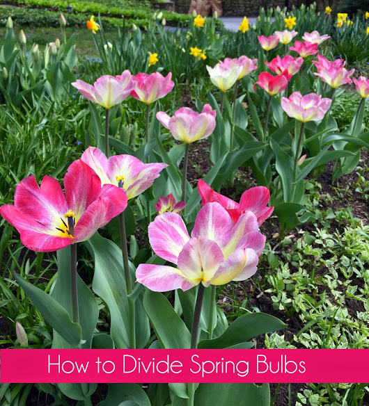 How to Divide Spring Bulbs