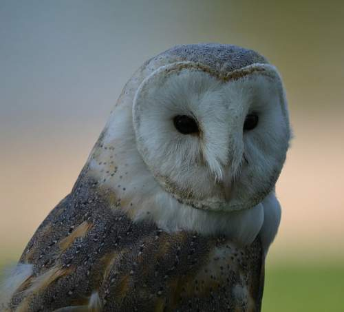 Birds of India - Common Barn owl - Tyto alba