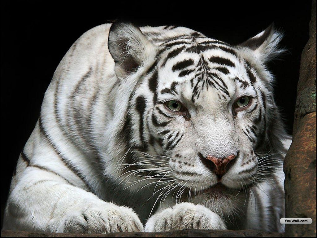 Image Gallary 3: Beautiful White Tiger Wallpapers For