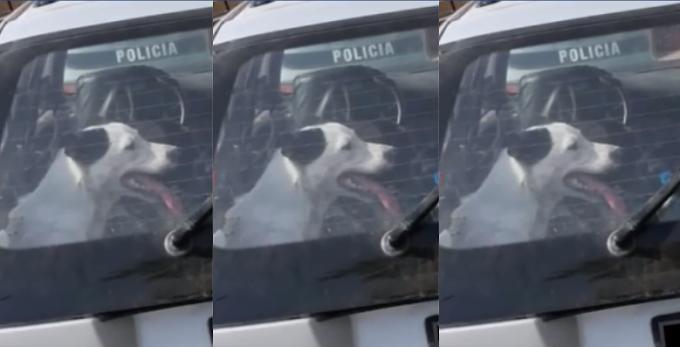 Policías rescataron a perrito que se estaba sofocando dentro de un vehículo  VÍDEO