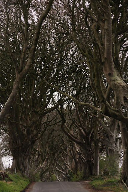 In about 1775 James Stuart wanted to create an imposing approach to his family's estate. He created the now haunted Dark Hedges with rows of over 150 beech trees planted along the entrance road to the estate. Legend has it that it is haunted by the Grey Lady and she comes out every night and glides along the trees until she disappears at the very last one…#trees #history #nature #spooky #haunted #ghost #ireland