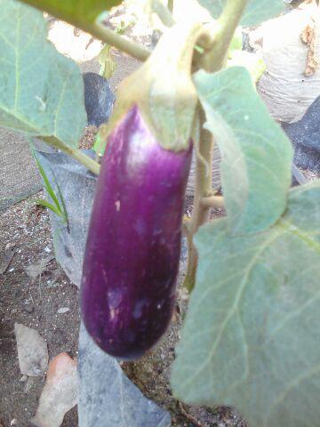 cara menanam terong ungu