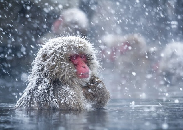 Snow Monkeys Love hot Baths similar to human beings Do, and Now We understand Why