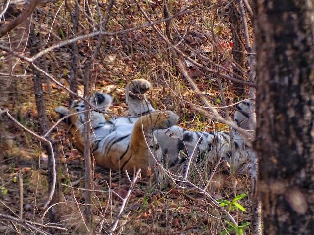 A tigress during the Jungle Safari