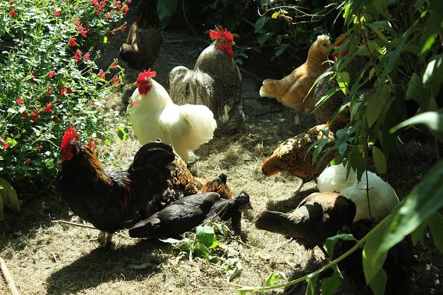 Organic free range chickens in a forest garden
