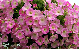 http://fotobabij.blogspot.com/2015/03/petunia-ogrodowa-pink-morn.html