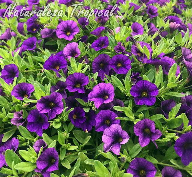 Flores púrpuras de un cultivar del género Calibrachoa