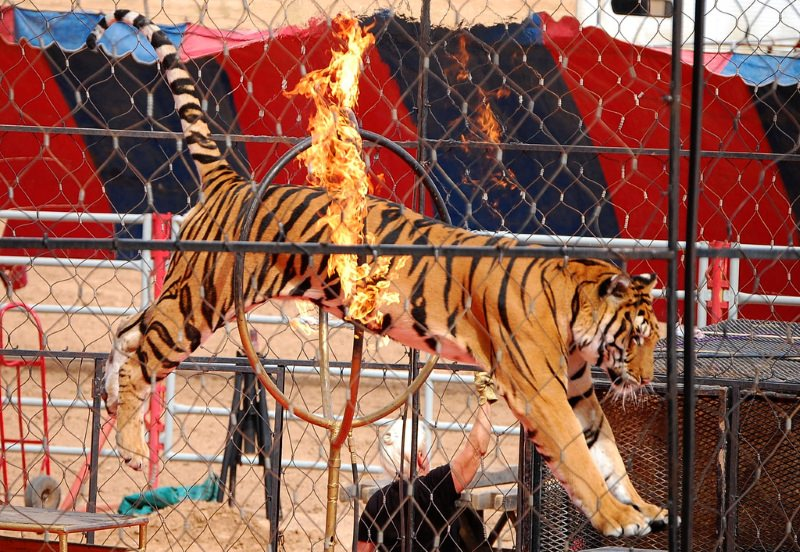 Tigre num circo