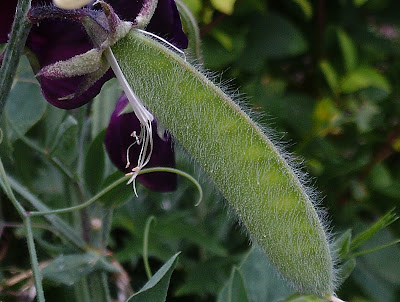 Sweet pea seed pod Holiday proof your garden Green Fingered Blog