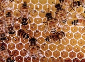 Arılar Nasıl Bal Yaparlar?