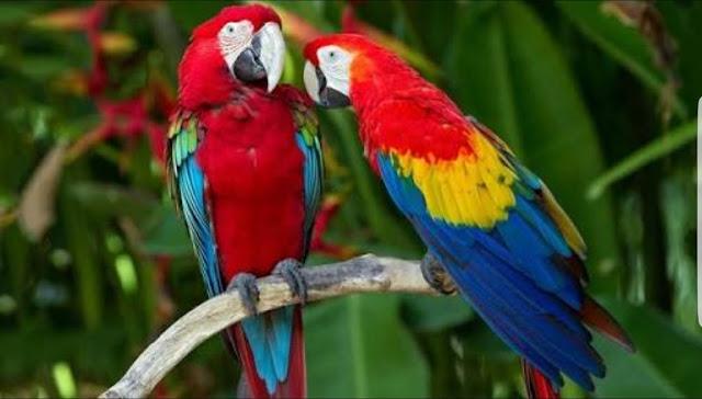 Güzelliğiyle Tüm Dünyayı Büyüleyen En Dünyanın En Güzel Kuşları - Kırmızı Macav Papağanı - Kurgu Gücü
