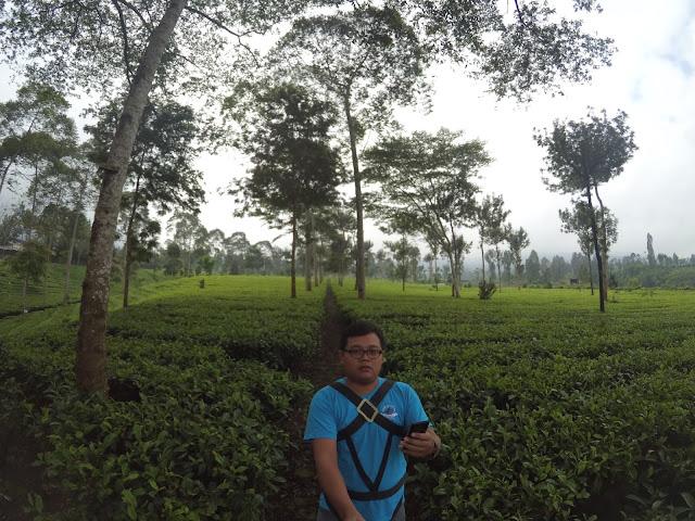 Agrowisata Kebun Teh Tambi