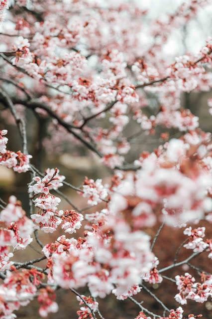 Cherry Blossoms at Shinjuku Garden Tokyo