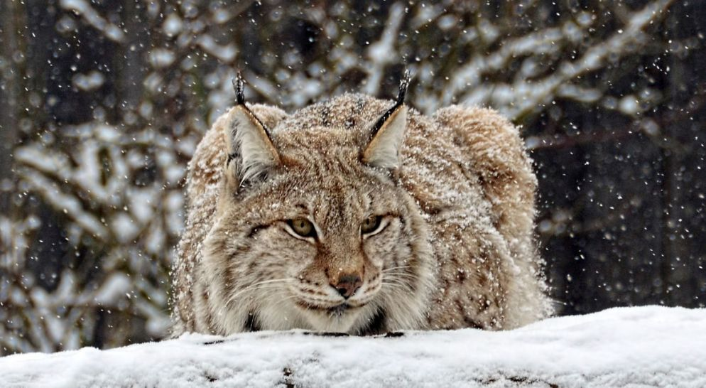 13. lynx in the snow