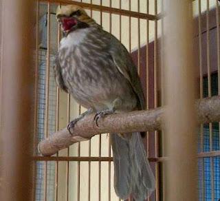 Burung Cucak Rowo - Mengenal Ciri-Ciri dan Kualitas Suaran Burung Cucak Rowo Asal Dari Medan - Penangkaran Burung Cucak Rowo