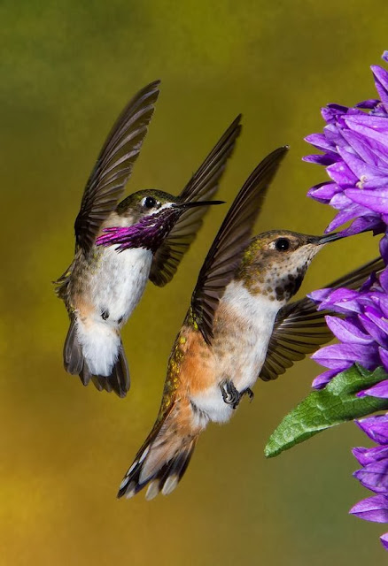 Hummingbirds couple in line