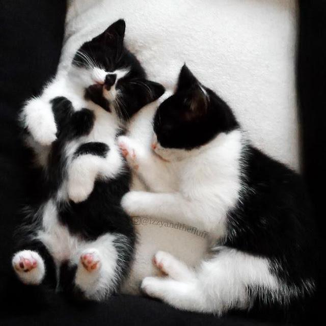 Cô mèo có vết bớt hình trái tim ngay giữa lồng ngực