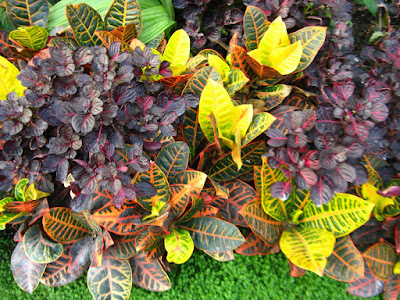 Allan Gardens Conservatory Spring Flower Show 2012 variegated croton and purple iresine by garden muses: a Toronto gardening blog