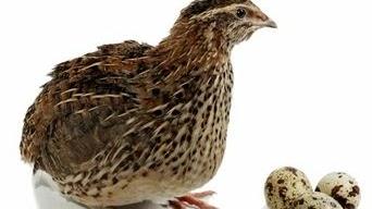 Daftar Harga Burung Puyuh Hari Ini Maret 2020