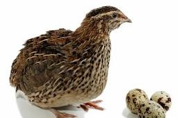 Daftar Harga Burung Puyuh Juni 2019
