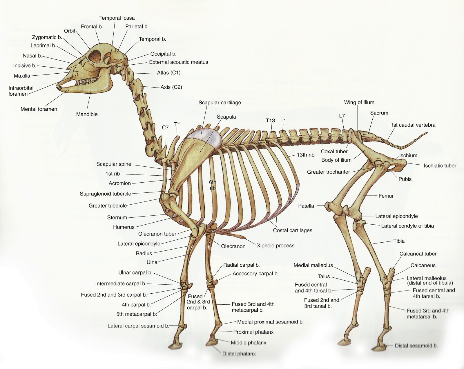 Cat Bones Anatomy Gallery - human body anatomy
