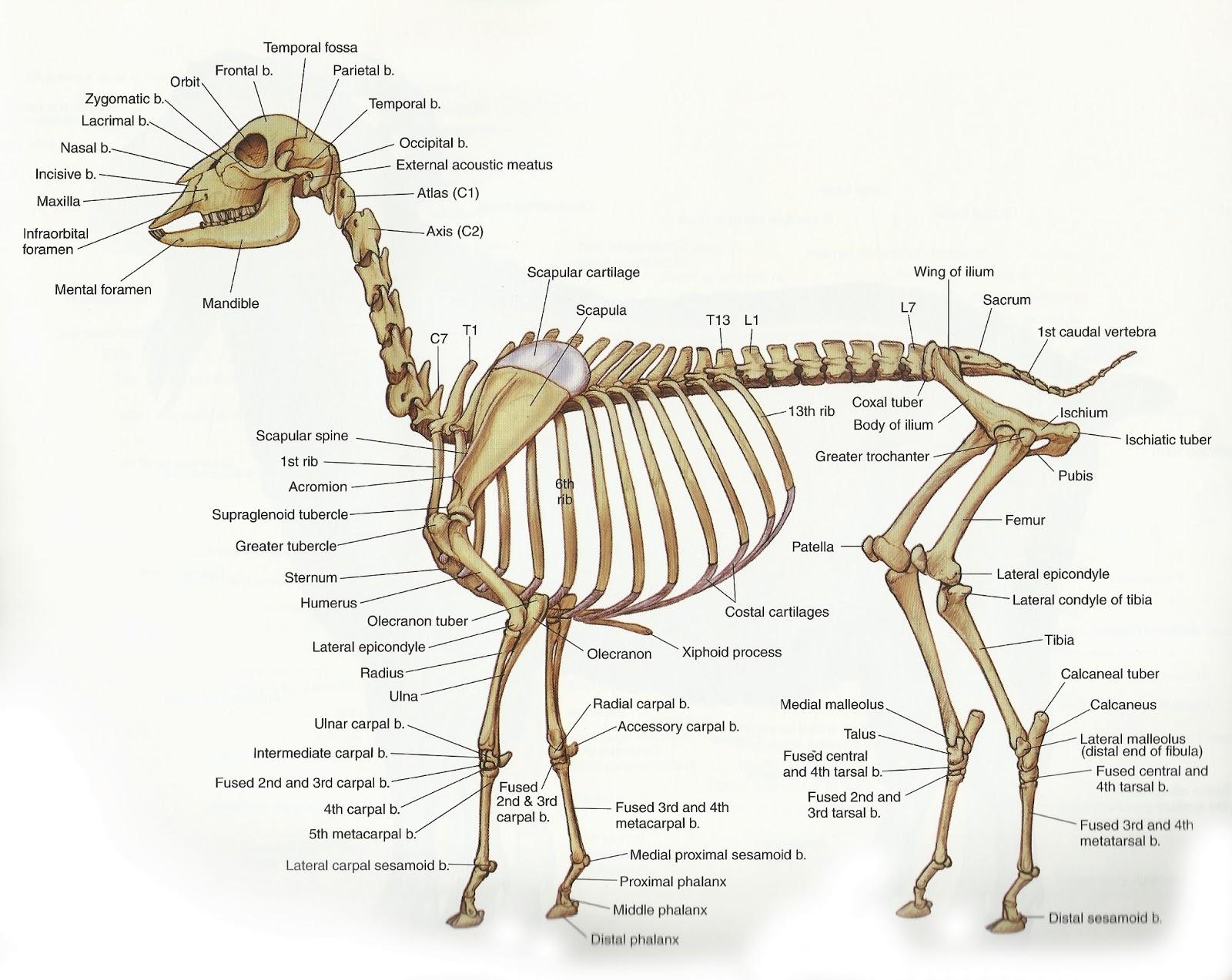 Deer skeletal anatomy