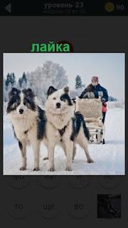две собаки породы лайка тянут нарты с человеком